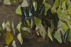 Motyl, brud, biel, piękny, natura, błękit, piękno, zieleń, mieszanka, kolor, czerń, lato brown, naturalny, jaskrawy, wiosna, poma fotografia royalty free