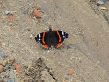 Motyl. Butterfly red admiral in summer Stock Image