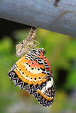 motyl chryzalida Zdjęcia Royalty Free