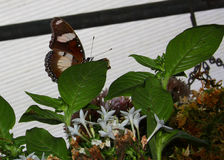 motyl chujący liść Obrazy Royalty Free