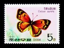 Motyl (Colias zorza), seria, około 1977 Obrazy Stock
