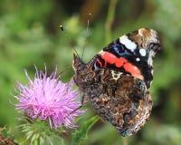 Motyl - Czerwony Admiral (Vanessa atalanta) obrazy royalty free