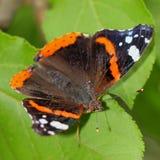 motyl - Czerwony Admiral (Vanessa atalanta) zdjęcia royalty free