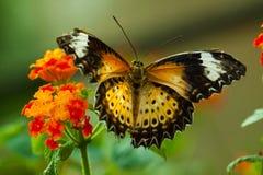 motyl eggfly wielki Obrazy Royalty Free