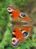 Motyl - Europejski Paw (Inachis io) obrazy royalty free