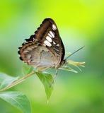 motyl green zdjęcia royalty free
