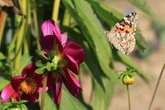 Motyl i kwiat Zdjęcie Royalty Free
