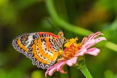Motyl i kwiat Obraz Royalty Free