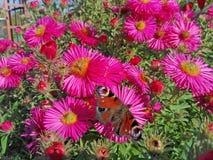 Motyl i kwiaty w jesieni Obrazy Royalty Free