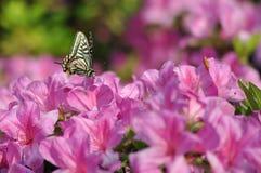 Motyl i różanecznik Obrazy Royalty Free
