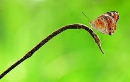 Motyl, insekt, zwierzęta, Makro- Zdjęcia Stock