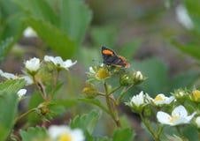 Motyl kocha kwiaty Zdjęcia Royalty Free