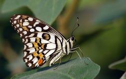 motyl kolorowy zdjęcie royalty free