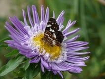 Motyl, kwiat, trawa, nektar, kłujka, purpury, lato, skrzydła, kolor żółty Fotografia Stock