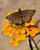 Motyl, Lassen Powulkaniczny park narodowy Zdjęcie Royalty Free