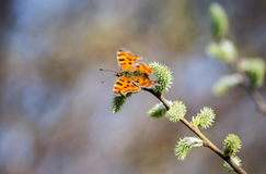Motyl (lat Lepidoptera Linnaeus) Obrazy Royalty Free