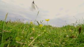 Motyl lata na łące zdjęcie wideo