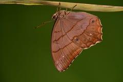 Motyl, Lethe christophi/ zdjęcie royalty free