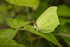 Motyl liść liść Zdjęcie Royalty Free