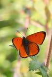 Motyl (Lycaena dispar) Zdjęcia Stock
