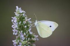 Motyl - mały biały motyl na kwiacie Zdjęcia Stock