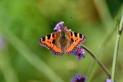 Motyl, mały tortoiseshell Zdjęcia Royalty Free