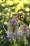 Motyl makro- Zdjęcie Stock
