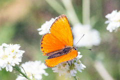Motyl makro- Obrazy Stock