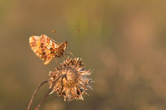 Motyl (Melitaea cinxia) Obrazy Stock