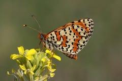 Motyl (Melitaea dydima) Obraz Stock