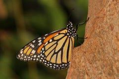 Motyl - monarcha - Nymphalidae - Danainae - kotelnia zdjęcia royalty free