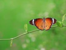 Motyl Motyli chwytów liście w ogródzie Fotografia Royalty Free