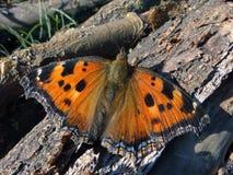 Motyl Motyli skrzydła Zdjęcie Stock