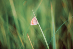 Motyl na łące Obraz Royalty Free