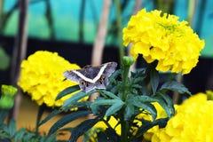 Motyl na żółtej kwiat roślinie Fotografia Stock