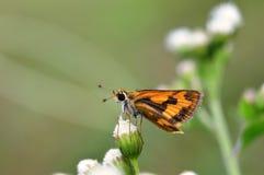 Motyl na Ageratum conyzoides kwiacie zdjęcie stock