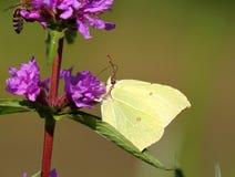 Motyl na błękitnym kwiacie Obrazy Stock