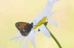 Motyl na białego kwiatu stokrotce Zdjęcia Royalty Free