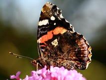 Motyl na buddleia kwiacie zdjęcie stock
