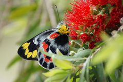 Motyl na Calistemon kwiacie Obraz Royalty Free