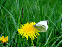 Motyl na dandelion Fotografia Royalty Free