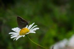 Motyl na dandelion kwiacie fotografia stock
