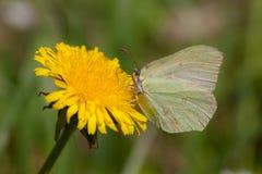 Motyl na dandelion w wiośnie obraz stock