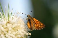 Motyl na Dipsacus laciniatus Zdjęcie Royalty Free