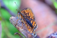 Motyl na drewnianym kiju Zdjęcie Royalty Free