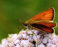Motyl na dzikim kwiacie Zdjęcie Royalty Free