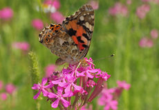 Motyl na dzikim kwiacie Obrazy Royalty Free