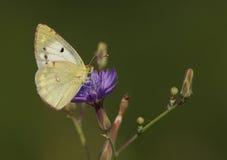 Motyl na dzikim kwiacie Obraz Stock