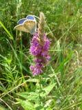 Motyl na dzikim kwiacie przy łąką Obrazy Stock