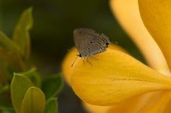 Motyl na flowert Obraz Royalty Free